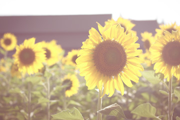 sunflowers on vintage style