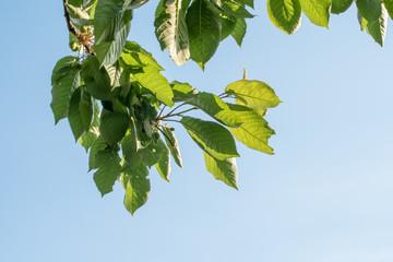 Fotoväggar - Zweig eines Kirschbaums in blauem Himmel