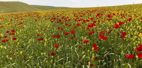 Poppy field.Ismaillinskie mountains. Azerbaijan