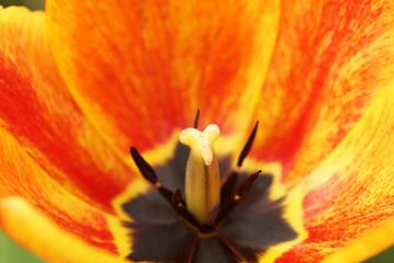 Part orange tulips in the garden.