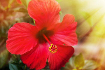 Red hibiscus flower in the sunshine
