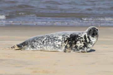 Fototapeta premium Grey seal