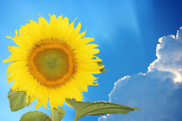 Close-up of sun flower against a over cloudy blue sky