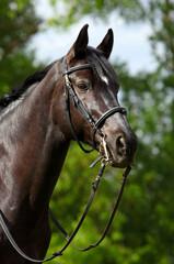 Bridled Hanoverian, black horse, portrait