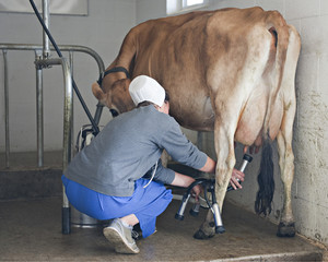 Milking a Jersey