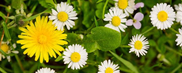 White daisies meadow and yellow dandelion flower