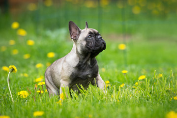 Tuinposter Franse bulldog french bulldog puppy sitting outdoors