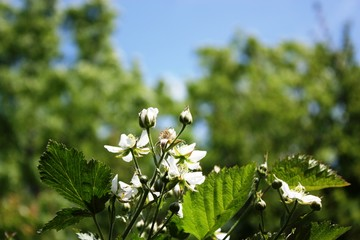 Raspberry plant with lots of white flowers in the garden under blue sky