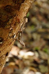Bahamaanolis (Norops sagrei,  Anolis sagrei)