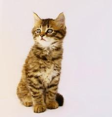 adorable chaton tigré,yeux bleus,attentif,portrait assis