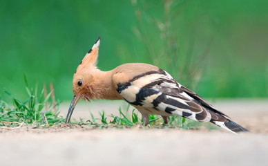 Eurasian Hoopoe feeding on a ground