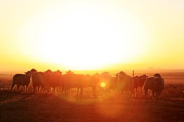 Sheep in a kraal against the rising sun.
