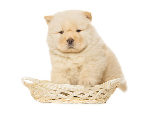 Fototapete - chow-chow puppy