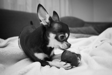 Chihuahua playing with small ball