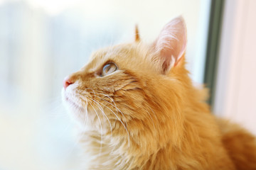 Red cat looking through window, closeup