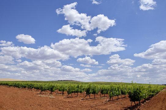 Vines plantation fields at Tierra de Barros