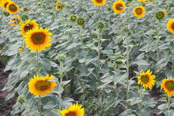Several sunflowers on the field