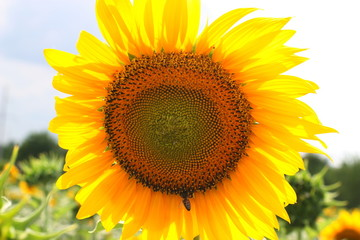 A sunflower on the field with a bee