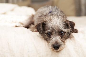 Little Terrier Dog Hanging Over Bed