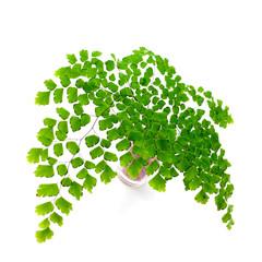 Adiantum fern leaves  on white background