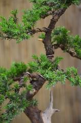 Bonsai Wacholder - Juniperus communis