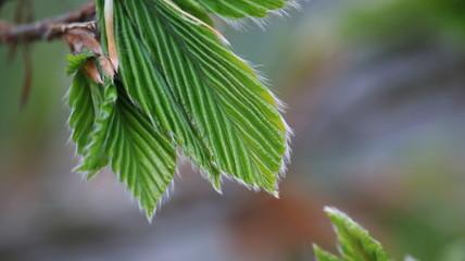 Little beech tree leaves