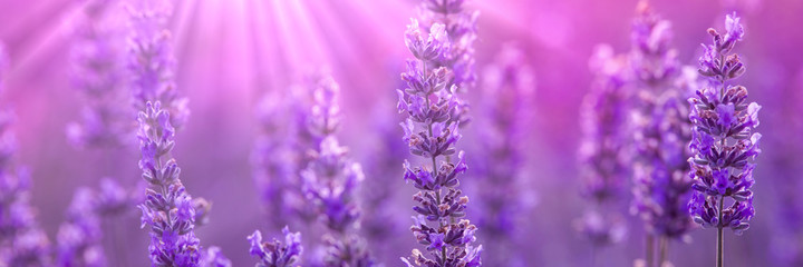 Photo sur Aluminium Lavande Lavender