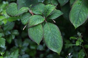 Blätter der Samthortensie nach dem Regen