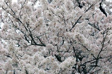 Sakura White Cherry Blossom Background