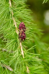"Young cones ""Larch"" in spring park"