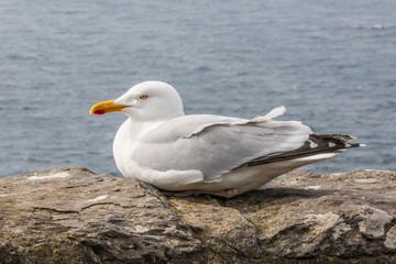 Silbermöwe (Larus argentatus) Herring Gull