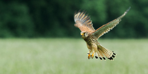 Kestrel (Falco tinnunculus) North Yorkshire, England.