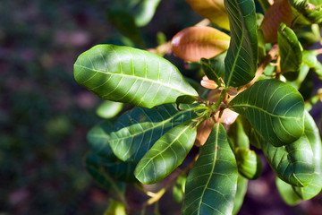 Young leaves of Cashew Tree.