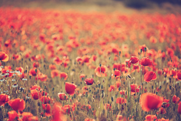 Wall Murals Coral Poppy field