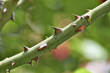 Detail of rose thorns
