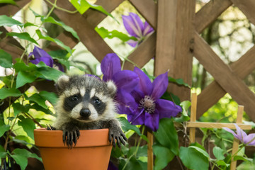 A baby raccoon in a flower pot.