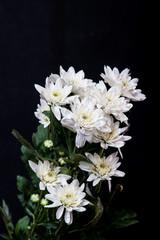 white chrysanthemum on black background