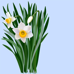 Narcissus flowers with leaves and bud. Bouquet of blossoming narcissus flowers