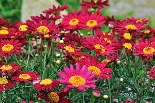 Plantes vivaces aux fleurs rouges photo libre de droits for Prix plantes vivaces
