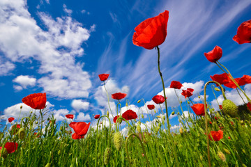 Beautiful red poppy flowers field in summertime background