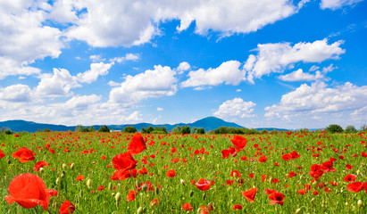 Field of poppies and a blue sky