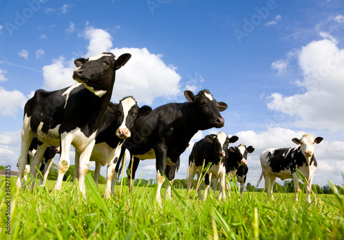 Wall mural Holstein cows
