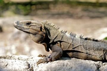 lizard sunbathing, mexico riviera maya