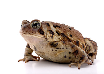 Fat Toad.