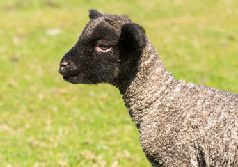 Portrait of Shropshire lamb in meadow