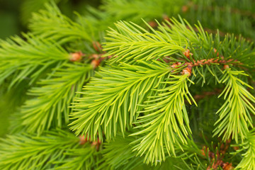Growing pine tree in a spring.