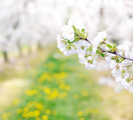 Colorful and fragrant orchard in the spring