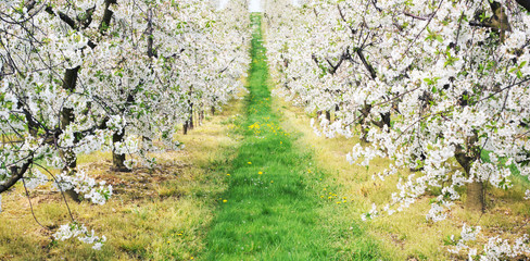 Green alley in the orchard