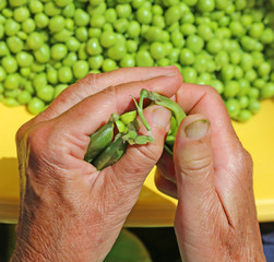 old woman take off the green peas from pods