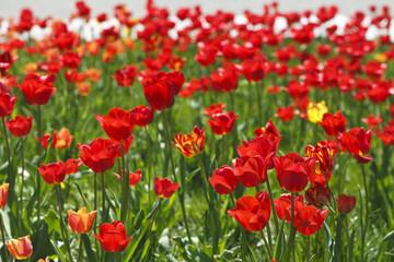 Foto op Plexiglas Klaprozen field of red tulips beautiful